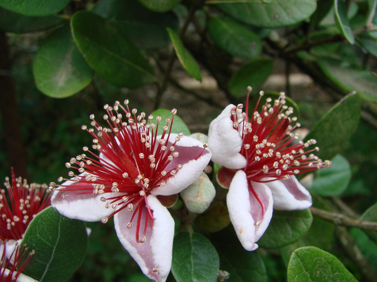 Лагуна цветок